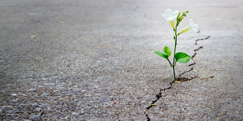 Riss in einem Asphalt aus der eine weiße Blume wächst.